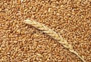 Зерновые культуры: пшеница,  ячмень,  овес