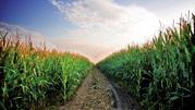 семена кукурузы производитель